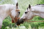 Arab horses love — Stock Photo