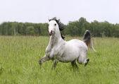 Arab horse in field — Stock Photo