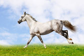 Zilver-witte hengst — Stockfoto