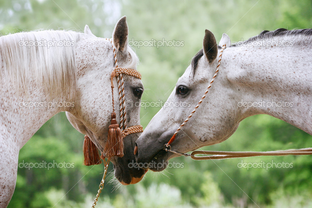 Arab horses love stock photo mari art 1164680 for Sfondi di cavalli gratis