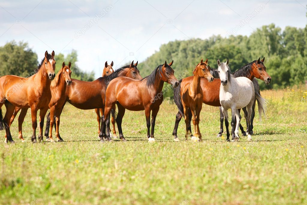 Arabian horse herd in field — Stock Photo #1169470