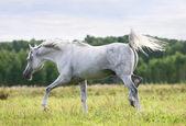 Beautiful arab stallion — Stock Photo
