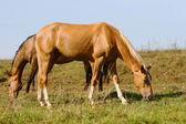 Purebred horses — Stock Photo