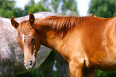 Arab colt — Stock Photo
