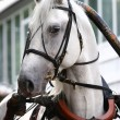 Orlov trotter in carriage — Stock Photo #1200670