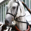 Orlov trotter in carriage — Stock Photo