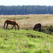 Stock Photo: Horses on riverside grazing