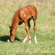 Stock Photo: Chestnut filly on field