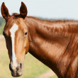 Stock Photo: Horse portrait