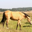 Stock Photo: Horse grazing on field