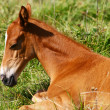Royalty-Free Stock Photo: Chestnut filly on field