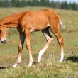 Chestnut filly — Stock Photo