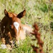 Stock Photo: Chestnut filly