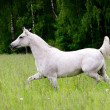 Stock Photo: Arab horse in field