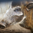 Wild boar - Stock Photo