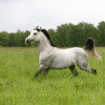 Arab stallion trotting on field — Stock Photo #1202864