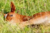 Foal sleeping — Stock Photo