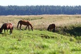 Horses on riverside grazing — Stock Photo