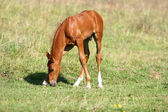 Chestnut filly on field — Stock Photo