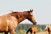 Horse on field — Stock Photo