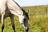 Cremello horse in field — Stock Photo