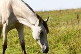 Cremello horse in field — Stock Photo