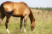 Purebred horse grazing on summer field — Stock Photo