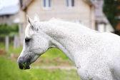 Purebred arab horse — Stock Photo