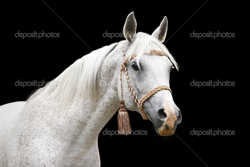 White arab horse isolated — Stock Photo #1202219