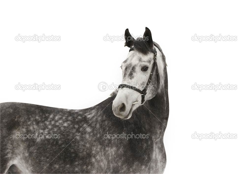 Gray dapple horse isolated — Stock Photo #1203476