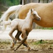 Stock Photo: Welsh pony foal