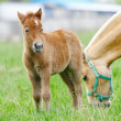Stock Photo: Foal pony
