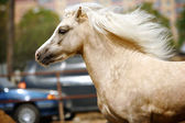 Welsh pony stallion — Stock Photo