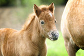 Pony foal — Stock Photo