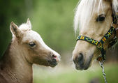 Foal and it mother — Stock Photo