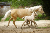 Mare and foal trotting — Stock Photo