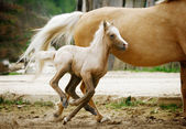 Welsh pony foal — Stock Photo