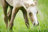 Foal grazing — Stock Photo