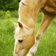 Stock Photo: Horse grazing