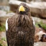 Steller's sea eagle — Stock Photo