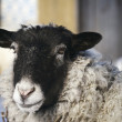 Sheep head — Stockfoto
