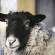 Sheep head - Stock fotografie