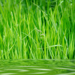 Green grass — Stock Photo #1236058