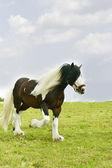 Gypsy vanner stallion running — Stock Photo