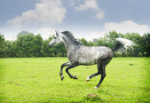 Arabian stallion — Stock Photo