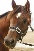 Arabian horse head closeup — Stock Photo