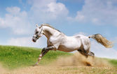 Silver-white stallion on field — Stock Photo