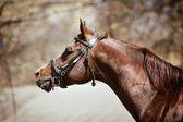 Purebred arabian stallion — Stock Photo