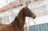 Purebred stallion — Stock Photo