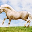 Pony stallion — Stock Photo